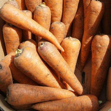 СВ 7381 ДХ F1 (SV 7381 DH F1) (1,6-1,8) семена моркови Шантане средней 110-115 дн. 16-18 см (Seminis)