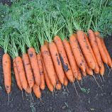 Бангор F1 (1,4-1,6) семена моркови Берликум средней 110 дн (Bejo)