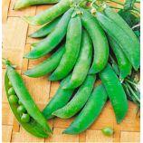 Бинго F1 семена гороха овощного позднего 65-80 см (GL Seeds)