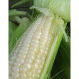 Снежная королева F1 семена кукурузы сахарной средней 70-75 дн 18-20 см 16-18 р белой (GL Seeds)