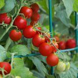 Форте Маре F1 семена томата индет коктейл раннего 90-95 дн окр 40-60 гр (GL Seeds)