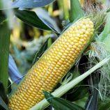 Сюрприз F1 семена кукурузы Sh2 суперсладкой средней 78-83 дн. 20-22 см 16-18 р. (GL Seeds)