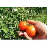 Сказка семена томата дет. раннего 87-95 дн. окр.-припл. 150-200 гр. (GL Seeds)