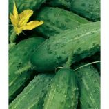 Аист F1 семена огурца пчелоопыл. раннего 45-49 дн. 9-14 см (GL Seeds)