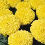 Бархатцы Дискавери F1 желтые (yellow)