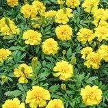 Малыш лимонные семена бархатцев 15-20см (Hem Zaden ПН)