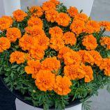 Бархатцы Чика оранжевые