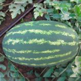ЛС 1807 F1 (LS 1807 F1) семена арбуза тип кр.св. раннего 13-15 кг овал. (Lucky Seed)