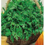 Зефир семена сельдерея листового среднераннего 80-90 дн. 25-30 см (Семена Украины)