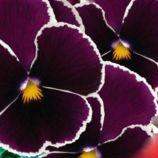 Кассис F1 семена виолы мультифлора (GL Seeds)