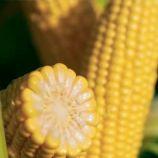 Джульетта F1 (Венеция F1) семена кукурузы суперсладкой Sh2 средней 80-83дн. 22см (Мнагор)