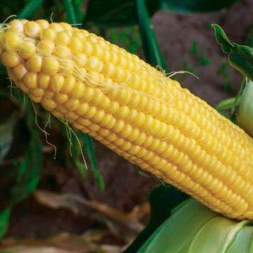 Джамала F1 семена кукурузы суперсладкой Sh2 ранней 73-75дн. 23см (Мнагор)