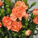 Лилипот F1 оранж биколор семена гвоздики китайской (Sakata)