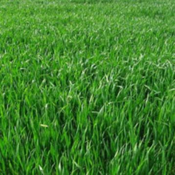 Дрогобицкий-2 семена райграса пастбищного (Свитязь)