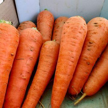 Абако F1 (Abaco F1) (1,8-2,0) семена моркови Шантане ранней 90-95 дн. (Seminis)