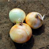 CRX 2554 F1 семена лука озимого ультрараннего плоск.-окр. (Cora Seeds)