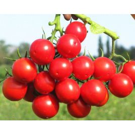 Руфус F1 семена томата дет. раннего 100 дн. окр. 60 гр. (Esasem)