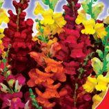 Цветочный дождь семена львиного зева (GL Seeds)