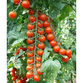 Порпора F1 семена томата индет. черри раннего 105-115 дн. окр. 25 гр. (Esasem)