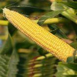 НБМ-2020 F1 семена кукурузы суперсладкой Sh2 ранней 75-78 дн. 23 см (Мнагор)