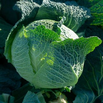 Виратоба F1 семена капусты савойской поздней 135-140 дн. до 2,5 кг (Syngenta)