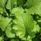 Горчица зеленая семена (SAIS)