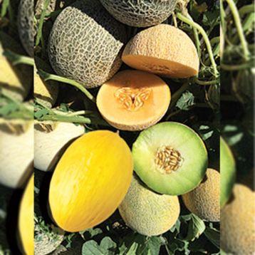 Мини F1 смесь семена дыни средней 75-80 дн. 0,5-1,0 кг (SAIS)