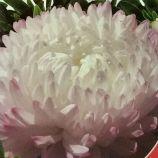 Софія насіння айстри (GL Seeds)