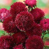 Гранат насіння айстри (GL Seeds)