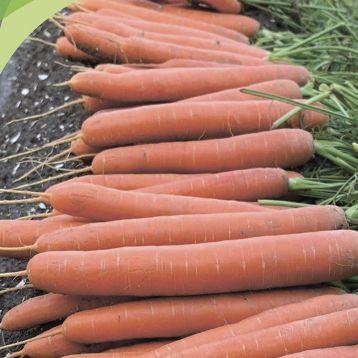 Морковь типа Нантес Карвора F1