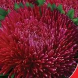 Оксамит бордовый семена астры 60-65см (GL Seeds)
