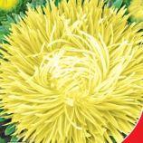 Золотой дракон семена астры 60-75см (GL Seeds)