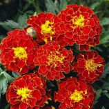 Красная брокада семена бархатцев (GL Seeds)