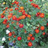 Кармен семена бархатцев 20-30см (Hem Zaden ПН)