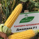 Джамала F1 насіння кукурудзи суперсолодкаої Sh2 ранньої 73-75 дн. 23 см (Мнагор)