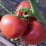 Панамера F1 семена томата индетермин. раннего 250-300 гр. с носиком окр. роз. (Clause)