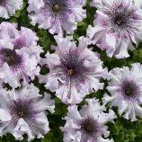 Петуния Альба белая с фиолетовыми прожилками