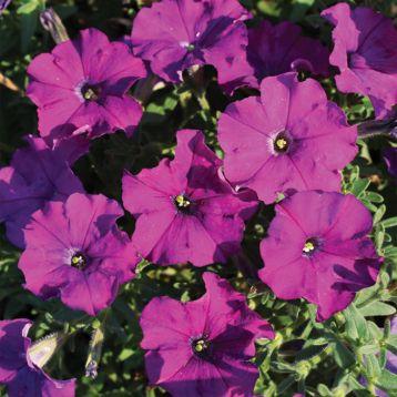 Карлик F1 фиолетовая семена петунии (Cerny СДБ)