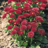 Тассо красная (red) семена маргаритки (стокротки) 10-15см (Benary)