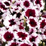 Петуния многоцветковая Селебрити F1 бургунди пикоте (Multiflora Celebrity Burgundy)