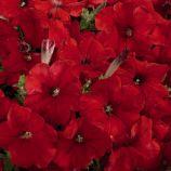 Петуния Селебрити красная (red)