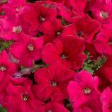 Петуния Селебрити розовая (Rose)
