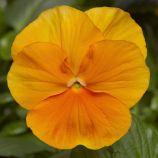 Виола Оранжевое чудо