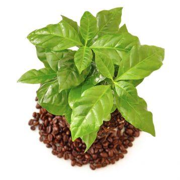 Кофейное дерево Арабика