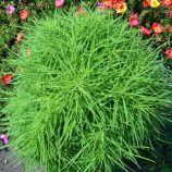 Кипарисовая кохия семена 60-80см (Hem Zaden ПН)