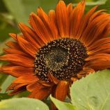Вечірнє сонце насіння соняшнику декоративного (Hem Zaden)