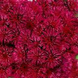 Голиаф красный (red) семена агератума (GL Seeds)