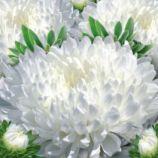 Красуня Тянь-Шаню насіння айстри (GL Seeds)