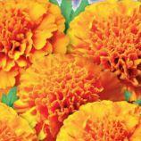Гавайи семена бархатцев 70-80см (GL Seeds)