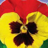 Червоні крила F1 насіння віоли (GL Seeds)